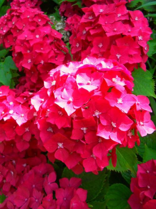 Les hortensias de la Bergerie